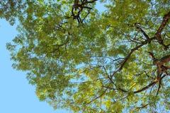 Cercando da sotto l'albero con il ramo e la foglia verde Immagini Stock Libere da Diritti