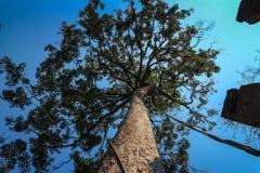 cercando gli alberi alti nel forset Immagini Stock