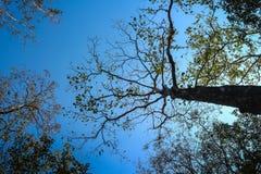 cercando gli alberi alti nel forset Fotografie Stock Libere da Diritti