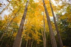 Cercando gli alberi con le foglie di autunno fotografia stock