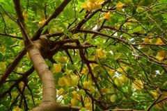 Cercando un albero di carambolia pesante con frutta Fotografia Stock