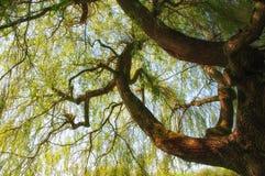 Cercando in un albero di salice Immagine Stock Libera da Diritti