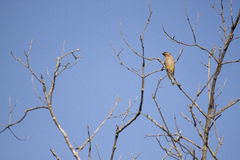Cercano oeste amarillea el pájaro que se sienta en árbol con las ramas desnudas y el cielo azul despejado como fondo Foto de archivo libre de regalías