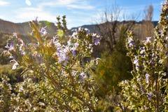 cercano para arriba de algunas flores púrpuras aromáticas de un arbusto llamado romero muy utilizó la hierba en la gastronomía cu imagenes de archivo