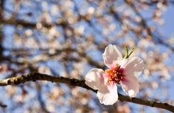 cercano para arriba de un flor blanco de la cereza en el extremo de una rama de un cerezo en un d?a de primavera con un un mont?n imagen de archivo libre de regalías