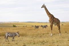 Cercano para arriba del Masai o de la jirafa de Kilimanjaro, tippelskirchii de los camelopardalis del giraffa, con la cebra común fotos de archivo