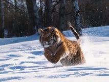 Cercare altaica del Tigri della panthera della tigre siberiana Fotografia Stock Libera da Diritti