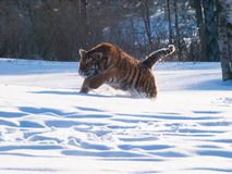 Cercare altaica del Tigri della panthera della tigre siberiana Fotografia Stock