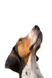 Cercare del cane di Treeing Walker Coonhound Fotografie Stock Libere da Diritti
