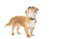 Cercare del cucciolo di pechinese Fotografia Stock