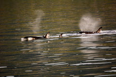 Cercare delle balene dell'orca Immagini Stock Libere da Diritti
