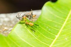 Cercare delle formiche messo a fuoco del cricket dell'esca Fotografia Stock Libera da Diritti