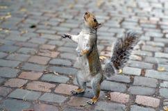 Cercare dello scoiattolo Fotografie Stock Libere da Diritti