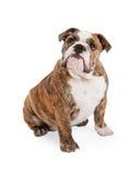 Cercare di seduta del bulldog inglese Fotografia Stock Libera da Diritti
