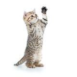 Cercare divertente allegro del gattino Isolato su bianco Immagine Stock