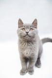 Cercare grigio sveglio del gattino Fotografie Stock Libere da Diritti