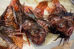 Cercare il lionfish immagine stock libera da diritti