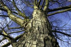 Cercare punto di vista dell'albero nudo con il cielo blu di inverno Fotografia Stock