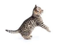Cercare scozzese allegro del gattino Immagini Stock