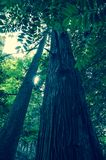 Cercare un albero diritto alto nel legno fotografia stock libera da diritti