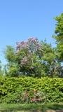Cercas da árvore com a uma bicicleta velha e os lilás da flor foto de stock