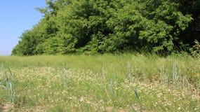 Cercas del árbol y crisantemos blancos florecientes con las vainas jovenes de la mostaza Imagen de archivo libre de regalías