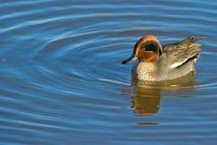 Cerceta comum na água Imagem de Stock Royalty Free