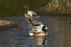 Cerceta na reserva do pantanal Foto de Stock Royalty Free