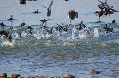 Cercetas comuns no lago Randarda, Rajkot, Gujarat Imagem de Stock Royalty Free