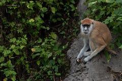 Cerchi e guardi i patas del scimmia-Erythrocebus di up-Patas Immagine Stock