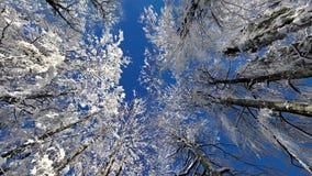 Cerchi gli alti alberi in pieno di neve e di cielo blu nell'inverno stock footage