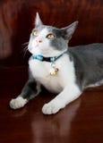 Cerchi il gatto Fotografia Stock Libera da Diritti