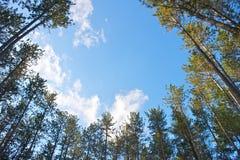 Cerchio degli alberi di pino Fotografie Stock Libere da Diritti