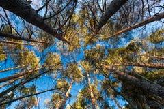 Cerchio dei pini Fotografia Stock