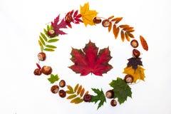 Cerchio delle foglie di acero e delle castagne su un fondo bianco Immagini Stock Libere da Diritti