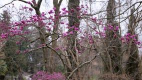 Cercis ευρωπαϊκά, δέντρο Judas στοκ εικόνα