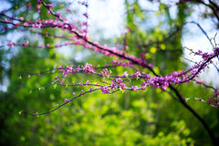 Cercis ευρωπαϊκά, ή ευρωπαϊκό Tsertsis, ή δέντρο Judas (lat Cercis Στοκ φωτογραφία με δικαίωμα ελεύθερης χρήσης