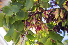 Cercis bush branch. Blur background with pink pods Stock Photo