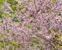 Cercis Canadensis Royalty Free Stock Photo