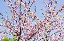 Cercis Canadensis. Branches of Eastern redbud, also called as Judas tree, latin name Cercis Canadensis, in blossom on blue sky Stock Image