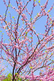 Cercis Canadensis. (Eastern redbud), branches with pink flowers on blue sky, vertical orientation Royalty Free Stock Photo