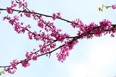 Cercis canadensis Flower royalty free stock photos