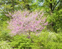 Cercis canadensis. Spring landscape - tree in blossom with pink flowers Cercis canadensis, other names Eastern redbud, or Judas tree Royalty Free Stock Image