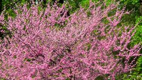 Cercis Canadensis stock footage