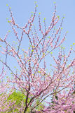 Cercis Canandensis. Banches of Eastern redbud, also called as judas tree, latin name Cercis Canandensis, on blue sky in blossom Stock Photography