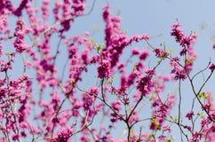 Cercis chinensis Fotografia Stock Libera da Diritti