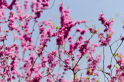Cercis chinensis. Blooming in the spring of Japan Royalty Free Stock Photography