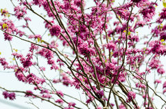 Cercis chinensis. Blooming in the spring of Japan Stock Photo