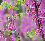 Cercis chinensis flowers Royalty Free Stock Photo