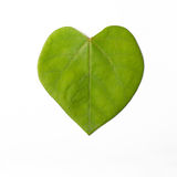 Cercis chinensis Leaves Royalty Free Stock Photo